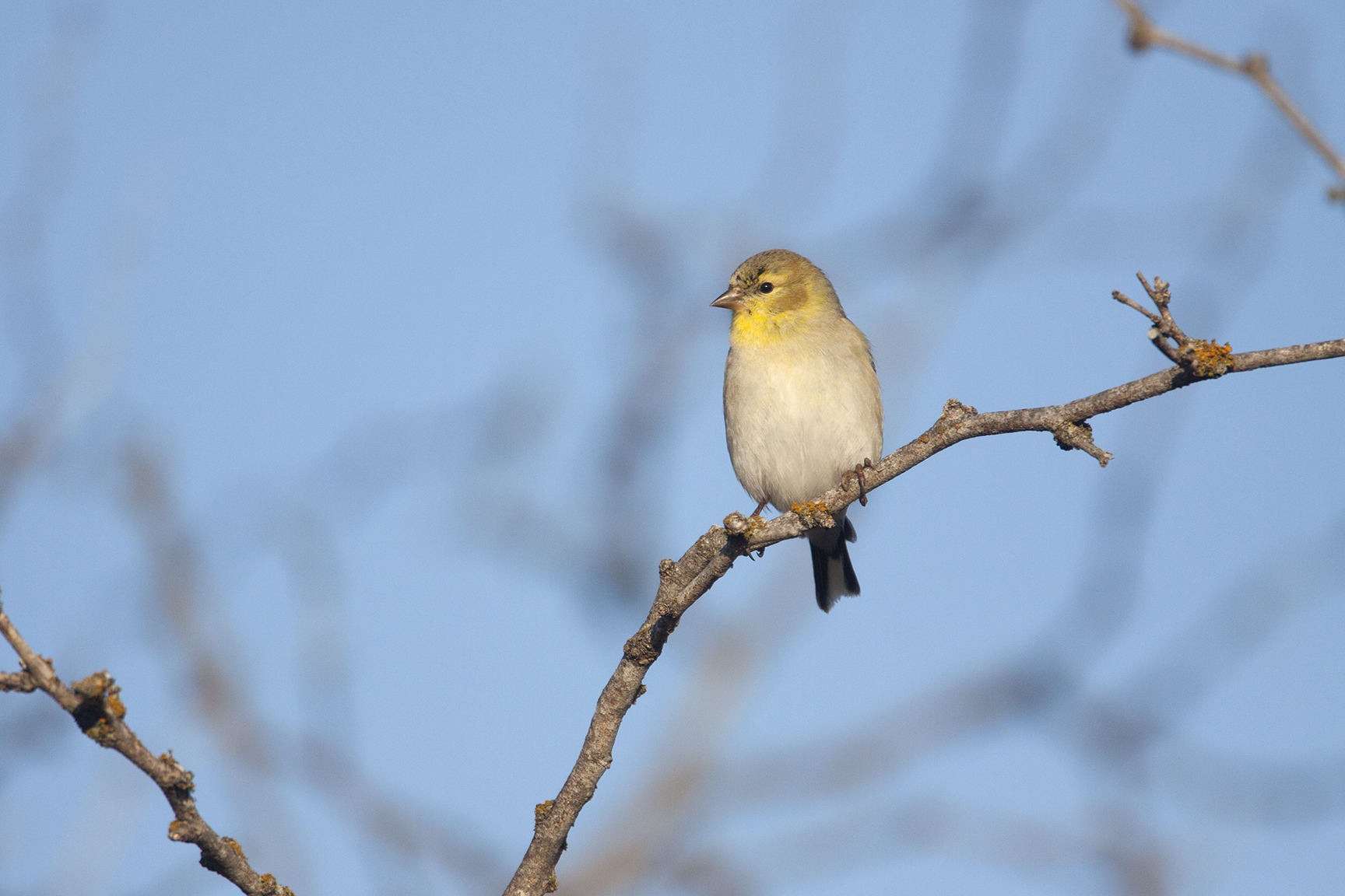 AMERICAN GOLDFINCH - BROWN COUNTY TX
