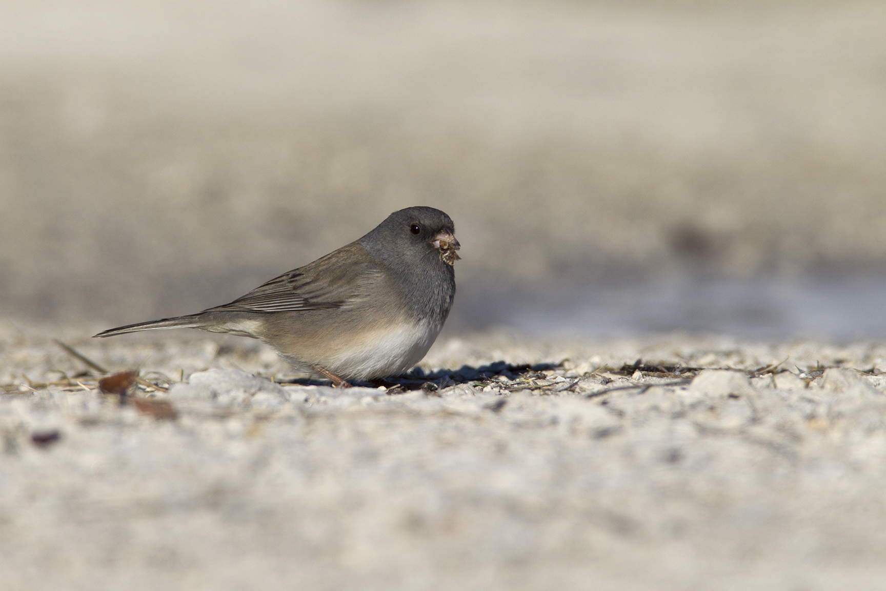 DARK-EYED JUNCO (SLATE-COLORED) - GRAYSON COUNTY TX