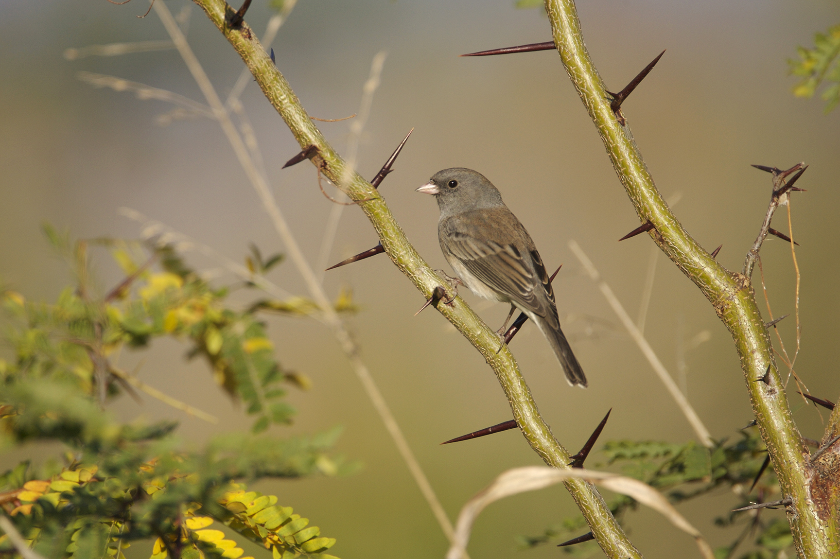 DARK-EYED JUNCO (SLATE-COLORED) - TAYLOR COUNTY TX