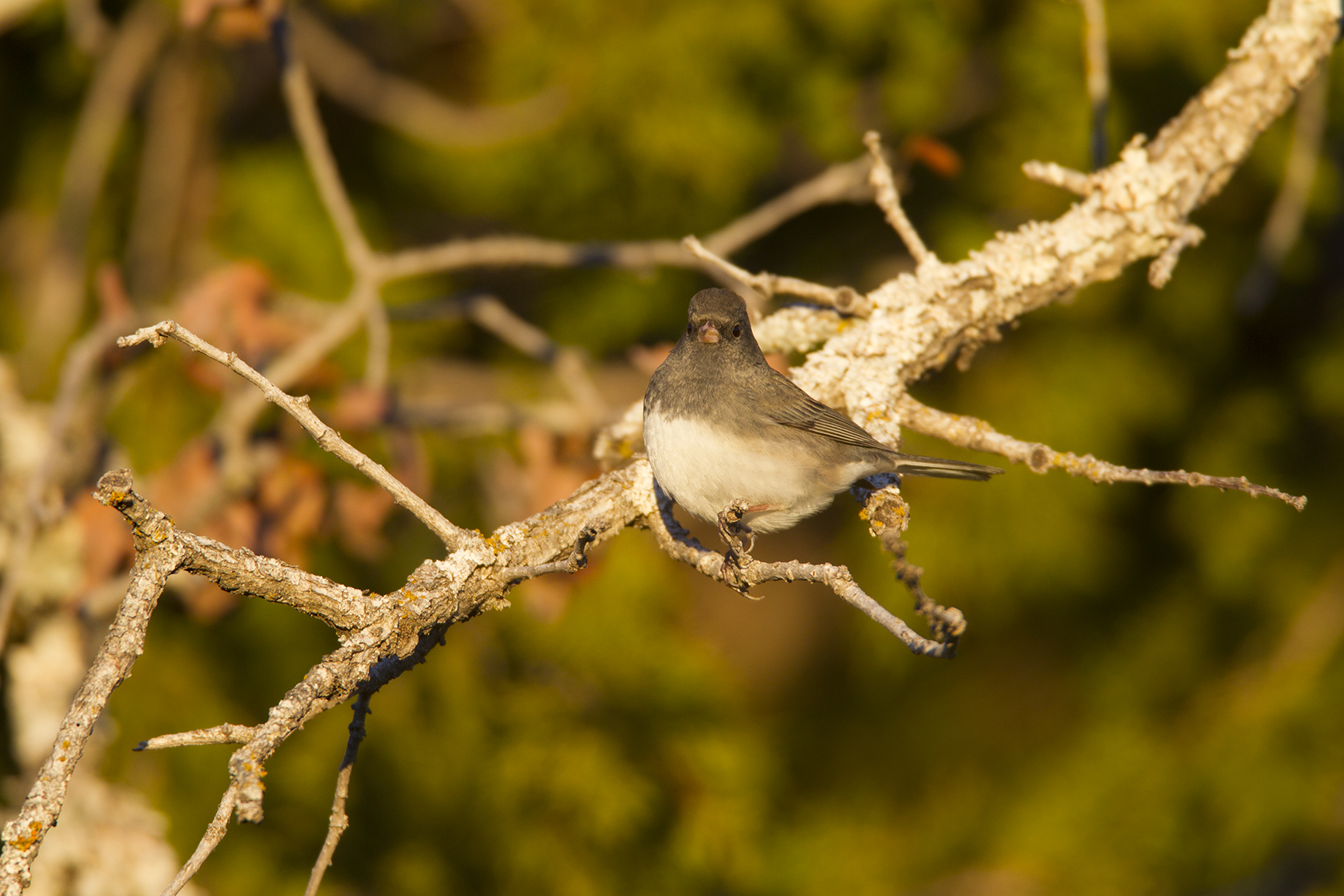 DARK-EYED JUNCO (SLATE-COLORED) - COOKE COUNTY TX