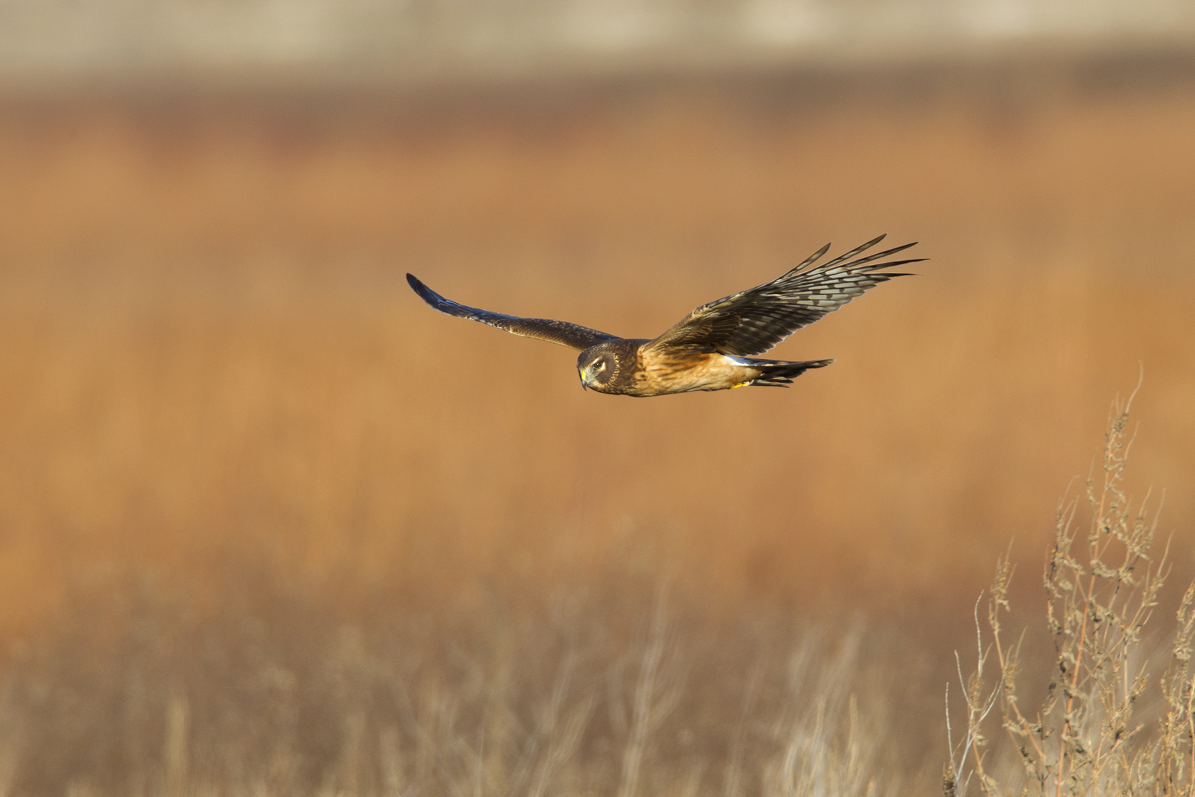 NORTHERN HARRIER - GRAYSON COUNTY TX