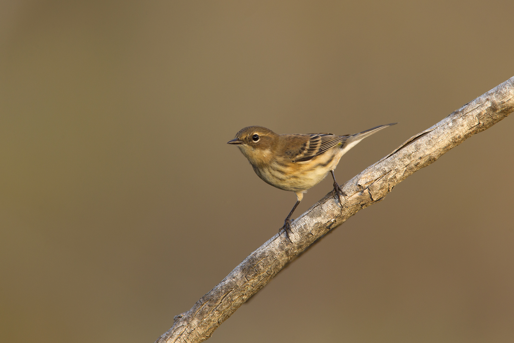 YELLOW-RUMPED WARBLER - GRAYSON COUNTY TX