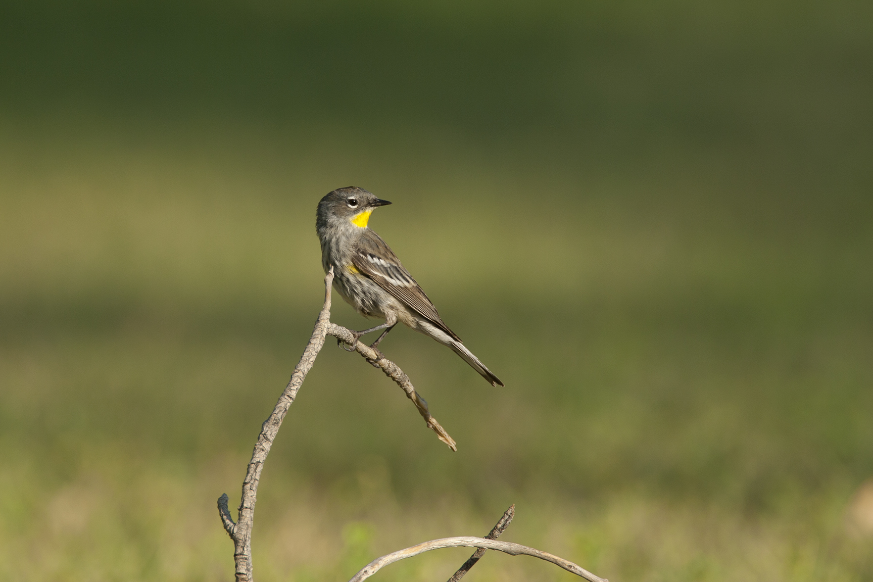 YELLOW-RUMPED WARBLER - BREWSTER COUNTY TX