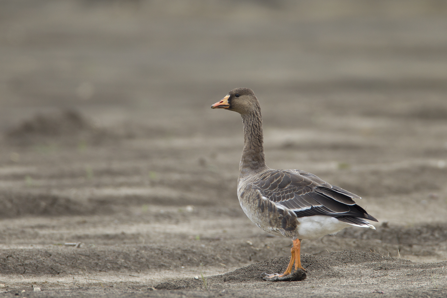 GREATER WHITE-FRONTED GOOSE - GRAYSON COUNTY TX