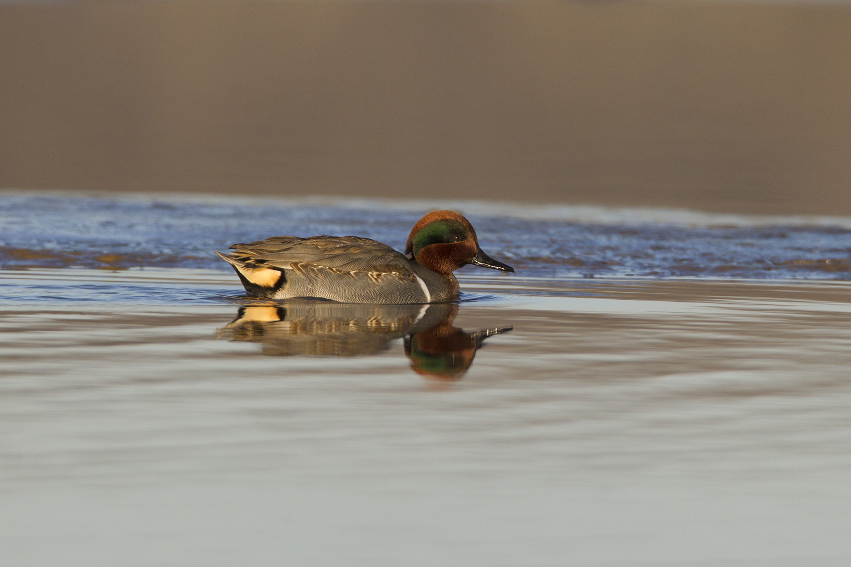GREEN-WINGED TEAL - GRAYSON COUNTY TX