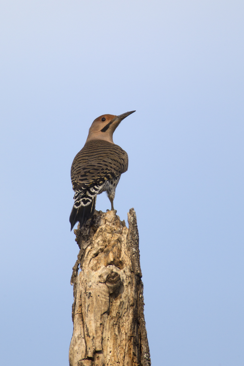 NORTHERN FLICKER - GRAYSON COUNTY TX