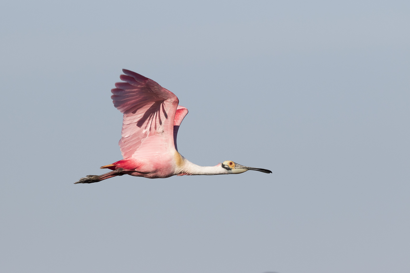 ROSEATE SPOONBILL - GALVESTON COUNTY TX MARCH, 2016