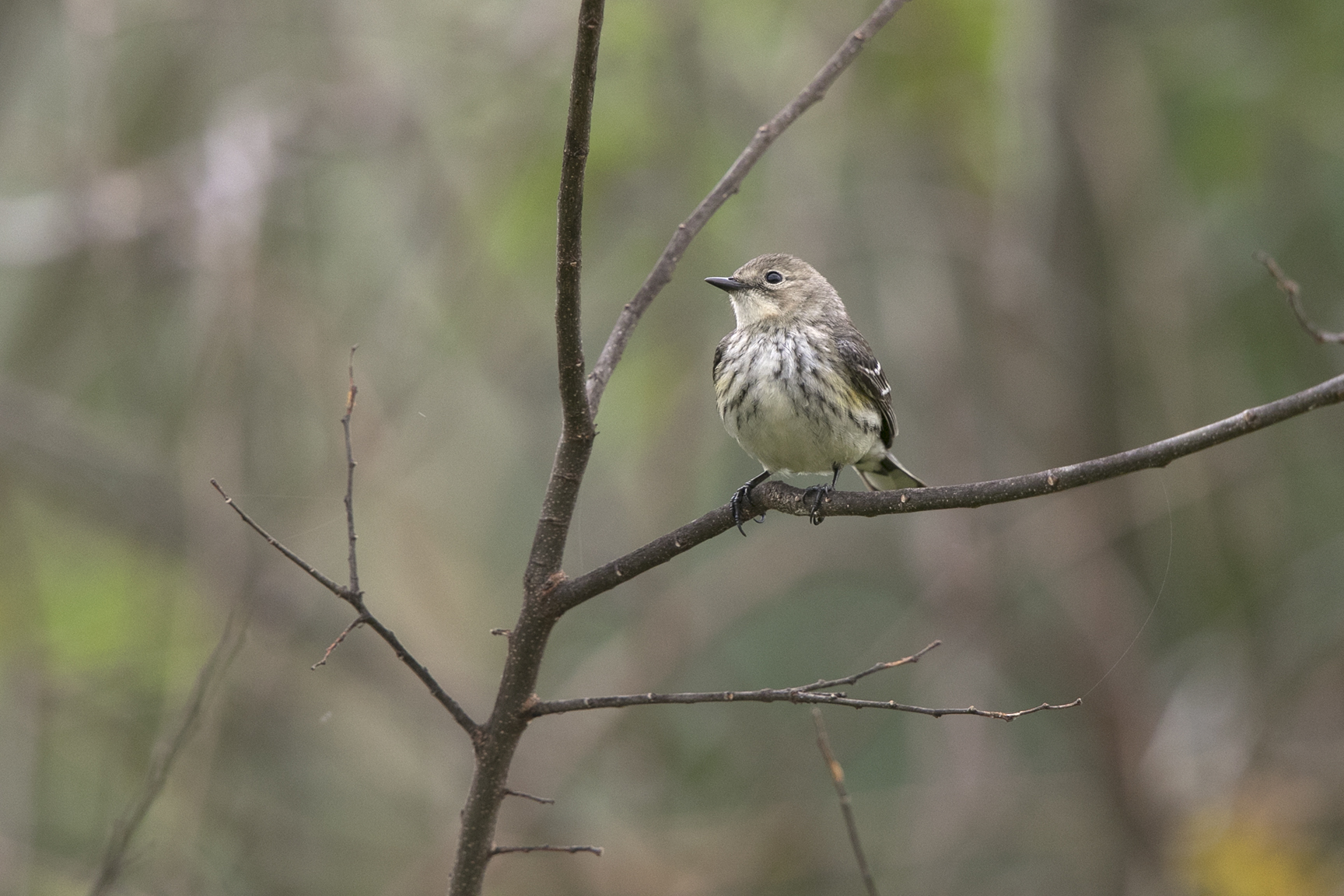 YELLOW-RUMPED WARBLER - GALVESTON COUNTY TX MARCH, 2016