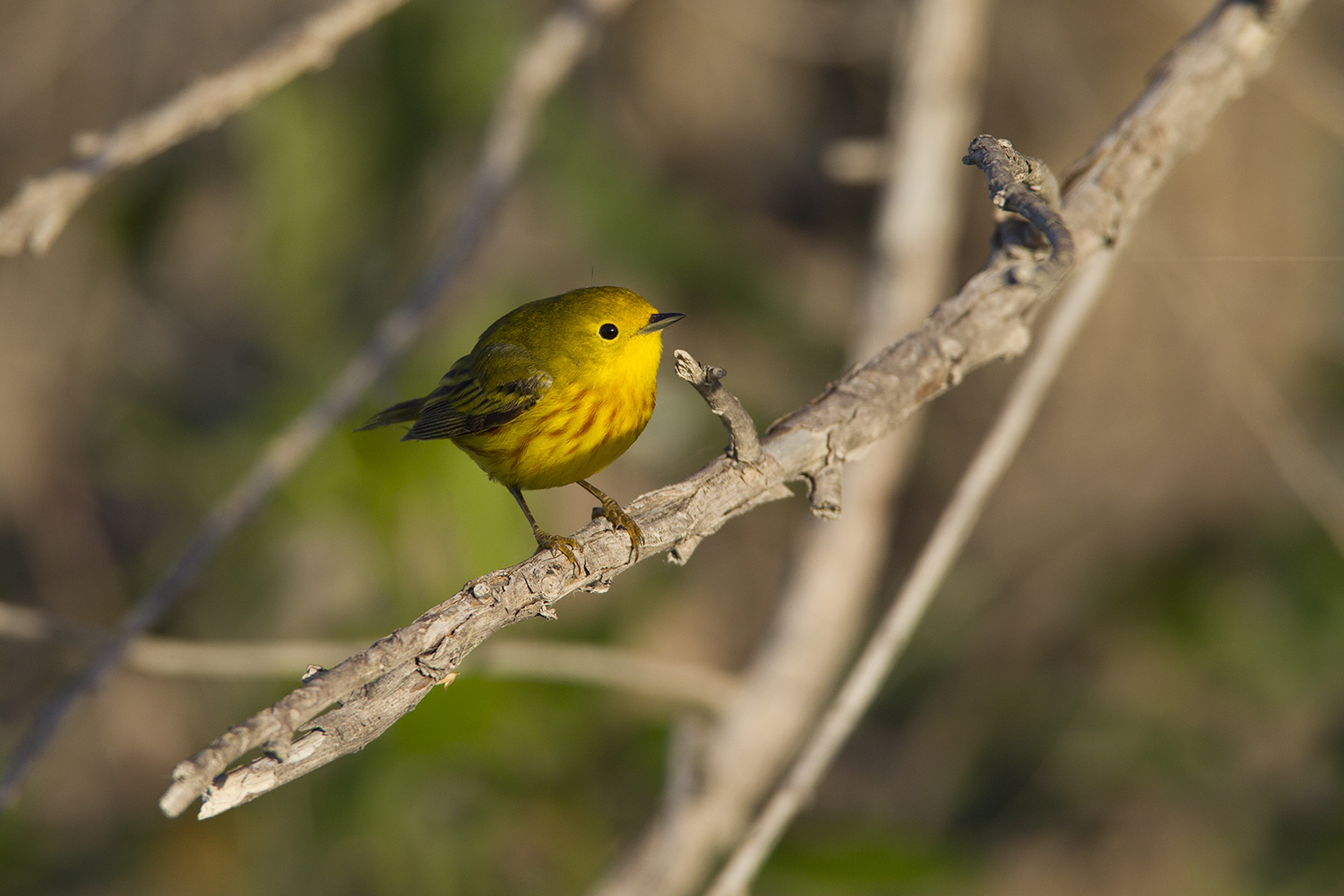 YELLOW WARBLER - GRAYSON COUNTY TX