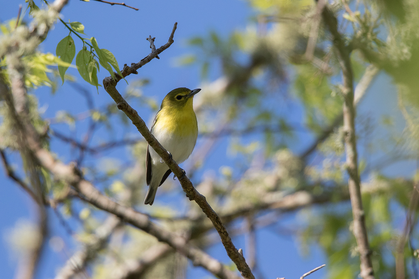 YELLOW-THROATED VIREO - GALVESTON COUNTY TX APRIL, 2016