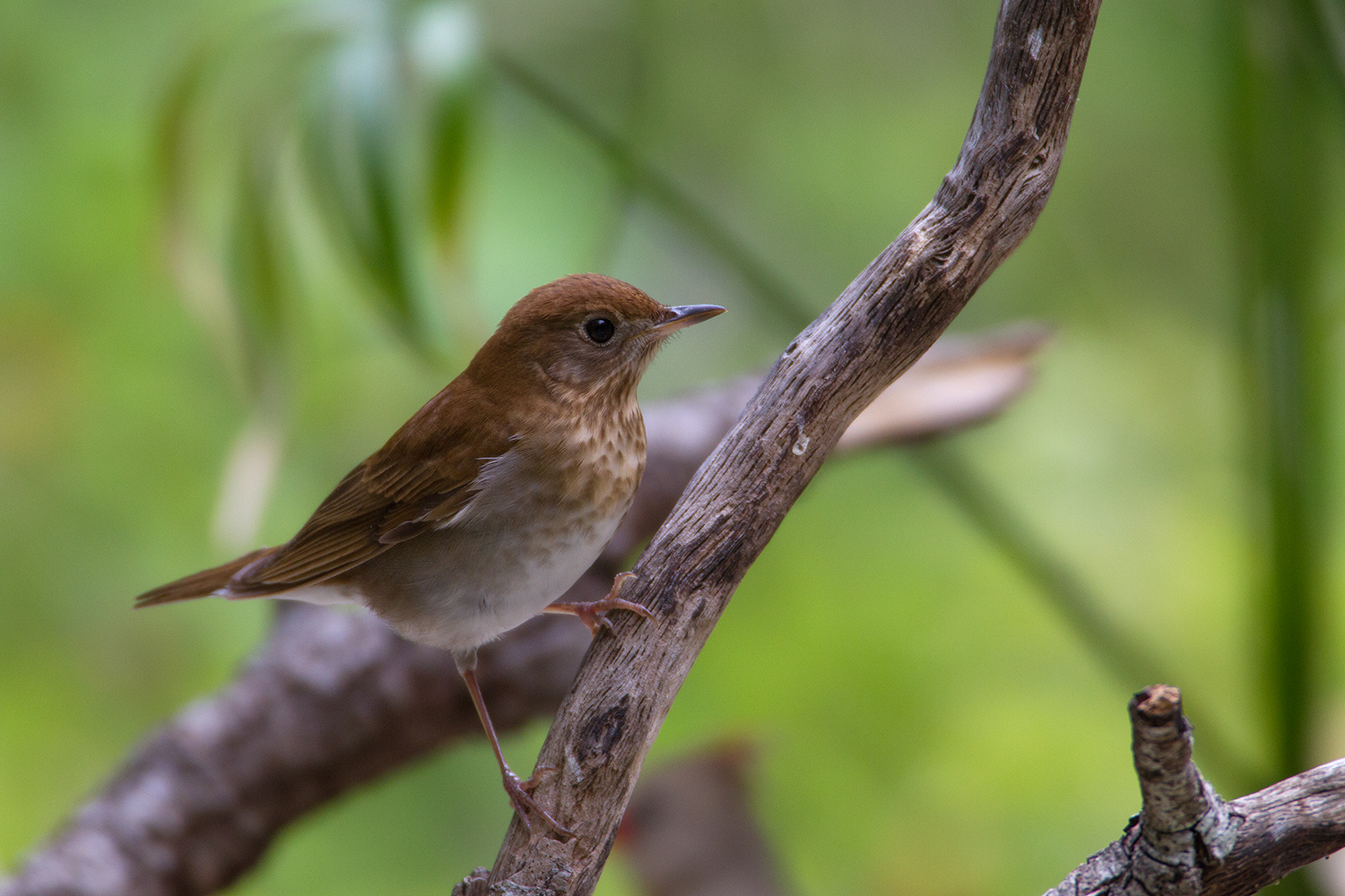 VEERY - GUADALUPE COUNTY TX MAY 2011