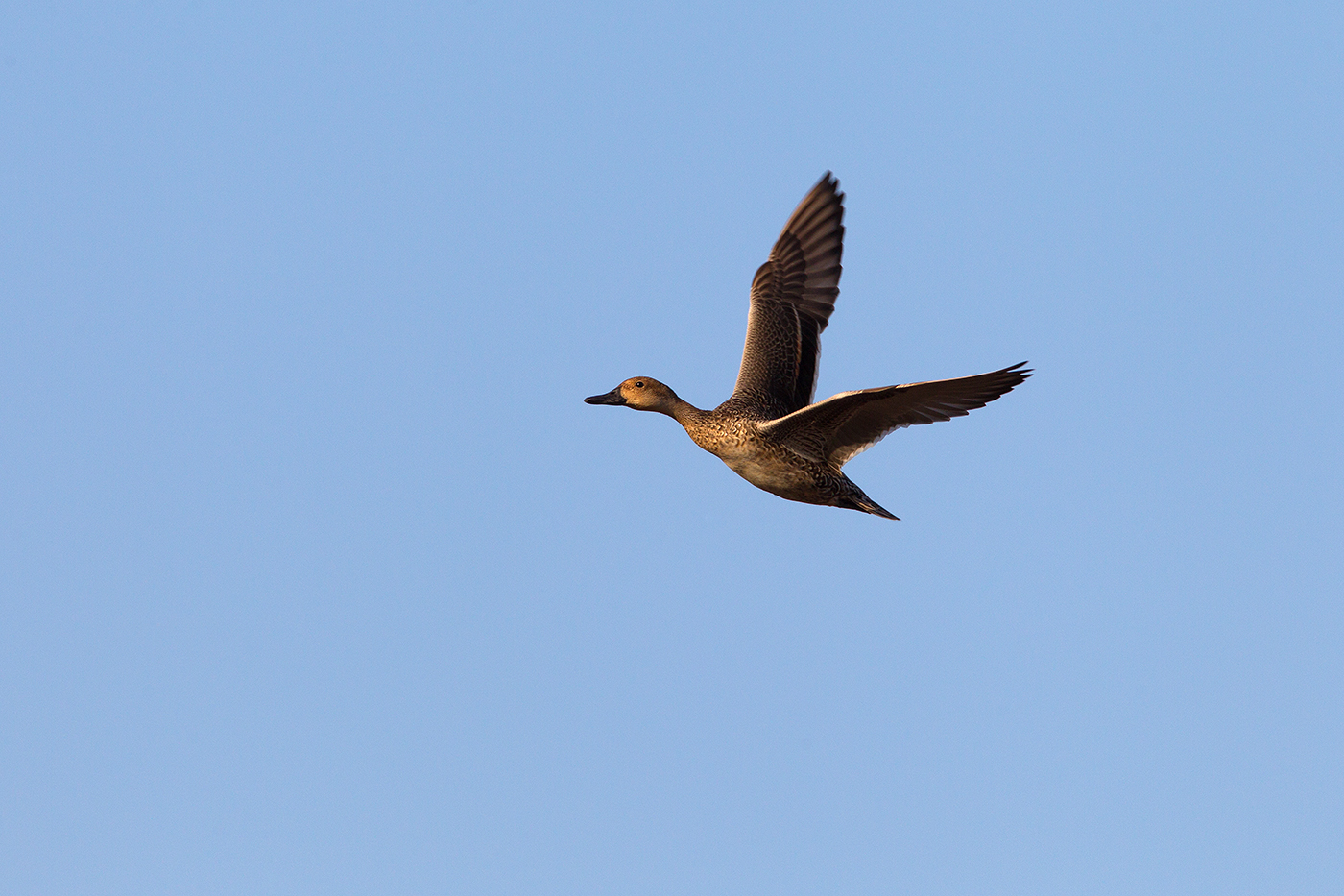 NORTHERN PINTAIL - GRAYSON COUNTY TX