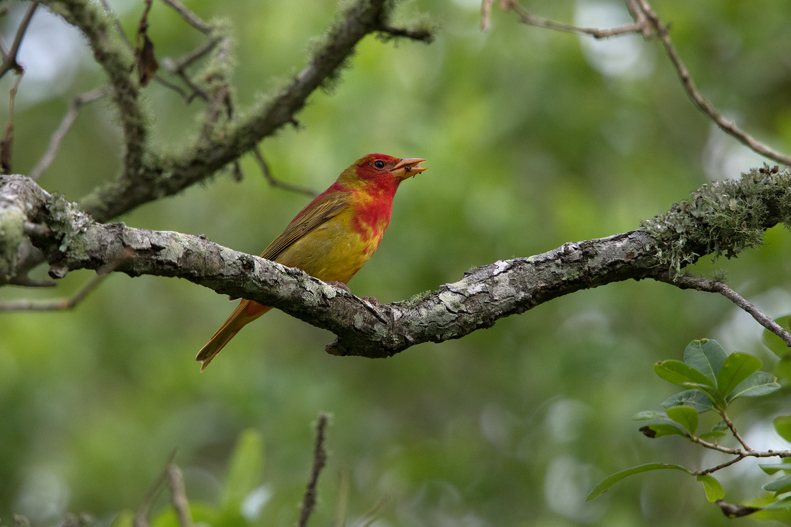 SUMMER TANAGER - GALVESTON COUNTY TX APRIL, 2016