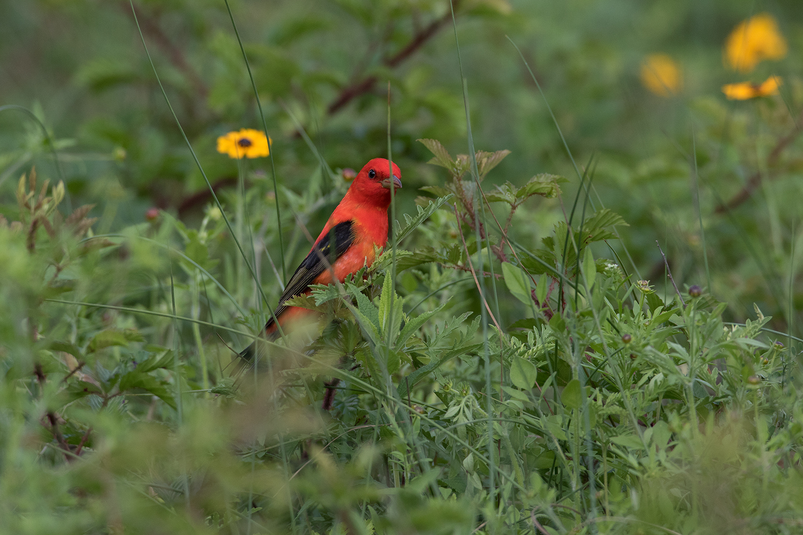 SCARLET TANAGER - GALVESTON COUNTY TX APRIL, 2016