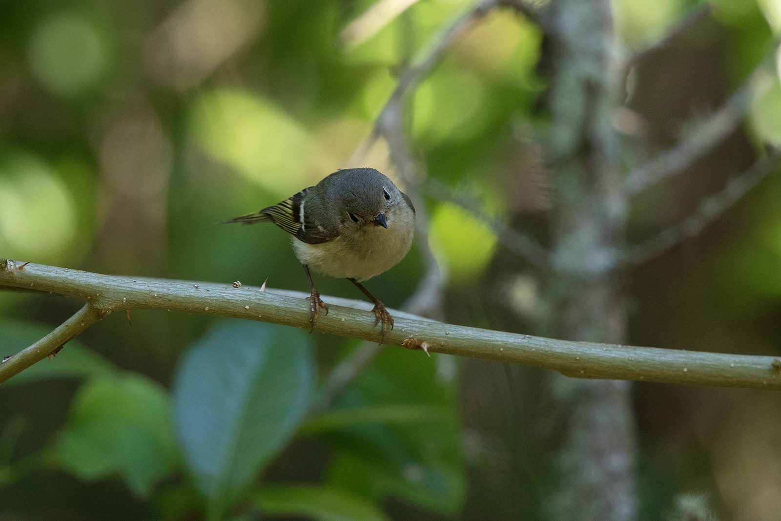RUBY-CROWNED KINGLET - GALVESTON COUNTY TX APRIL, 2016