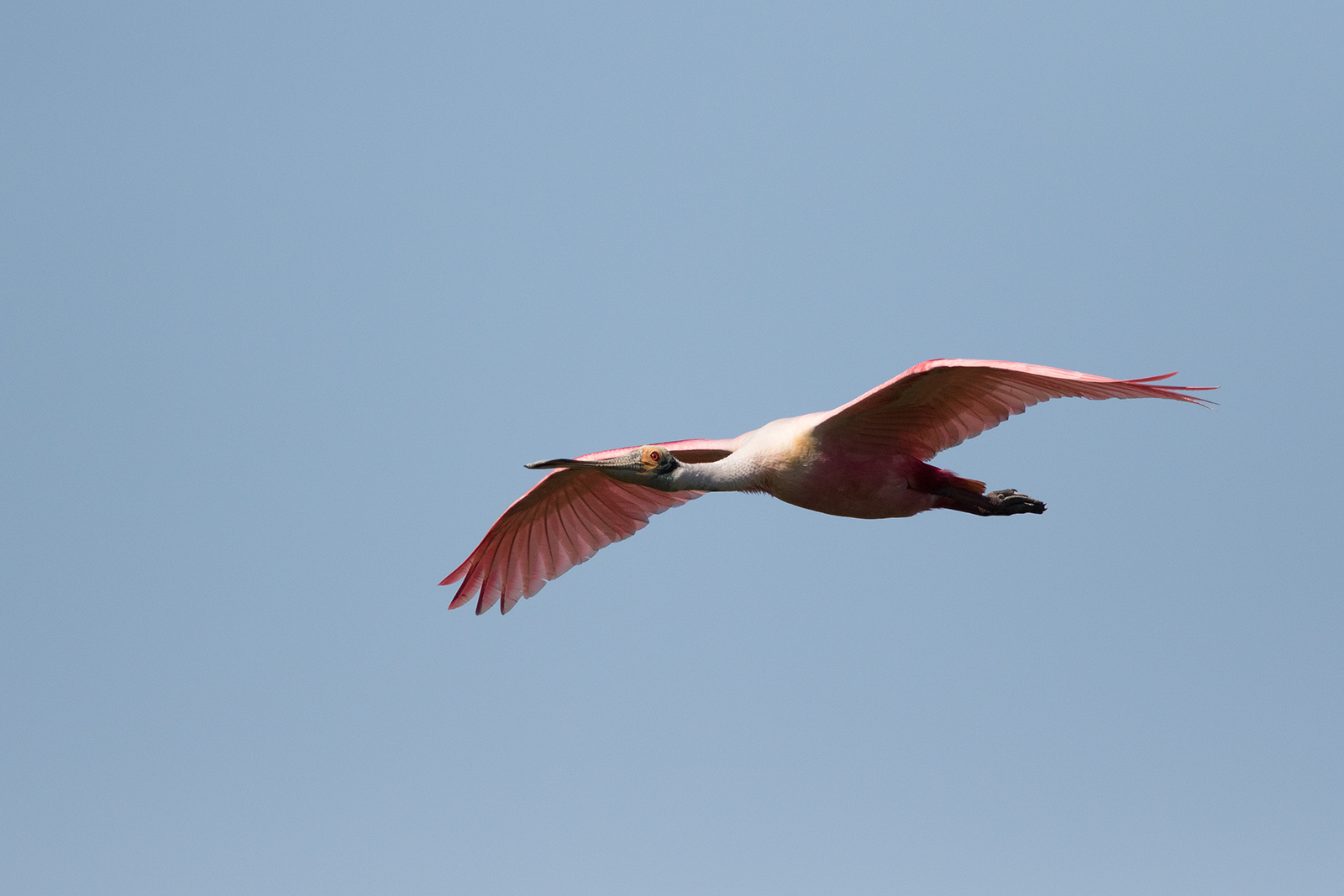 ROSEATE SPOONBILL - GALVESTON COUNTY TX APRIL, 2016
