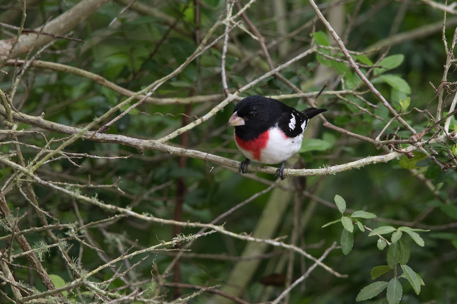 ROSE-BREASTED GROSBEAK - GALVESTON COUNTY TX APRIL, 2016