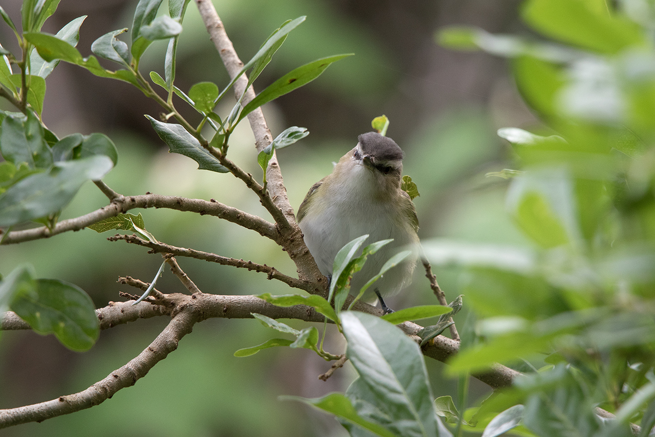 RED-EYED VIREO - GALVESTON COUNTY TX APRIL, 2016