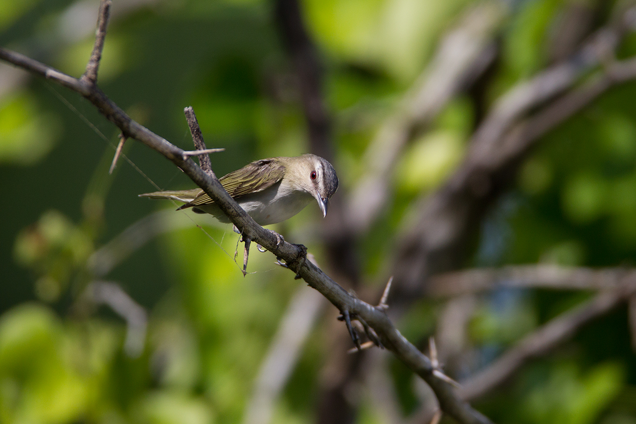 RED-EYED VIREO - GRAYSON COUNTY TX