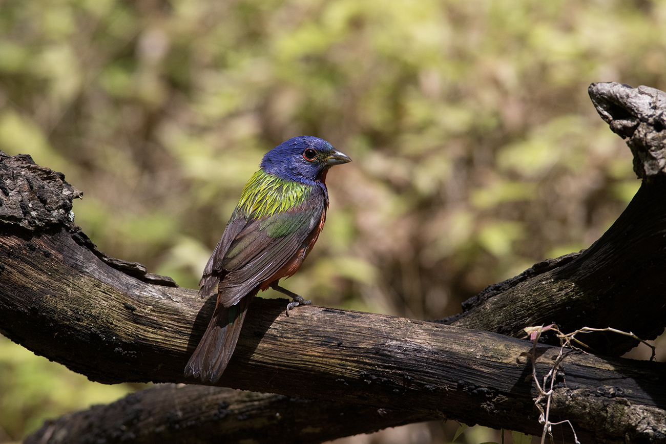 PAINTED BUNTING - GALVESTON COUNTY TX APRIL, 2016