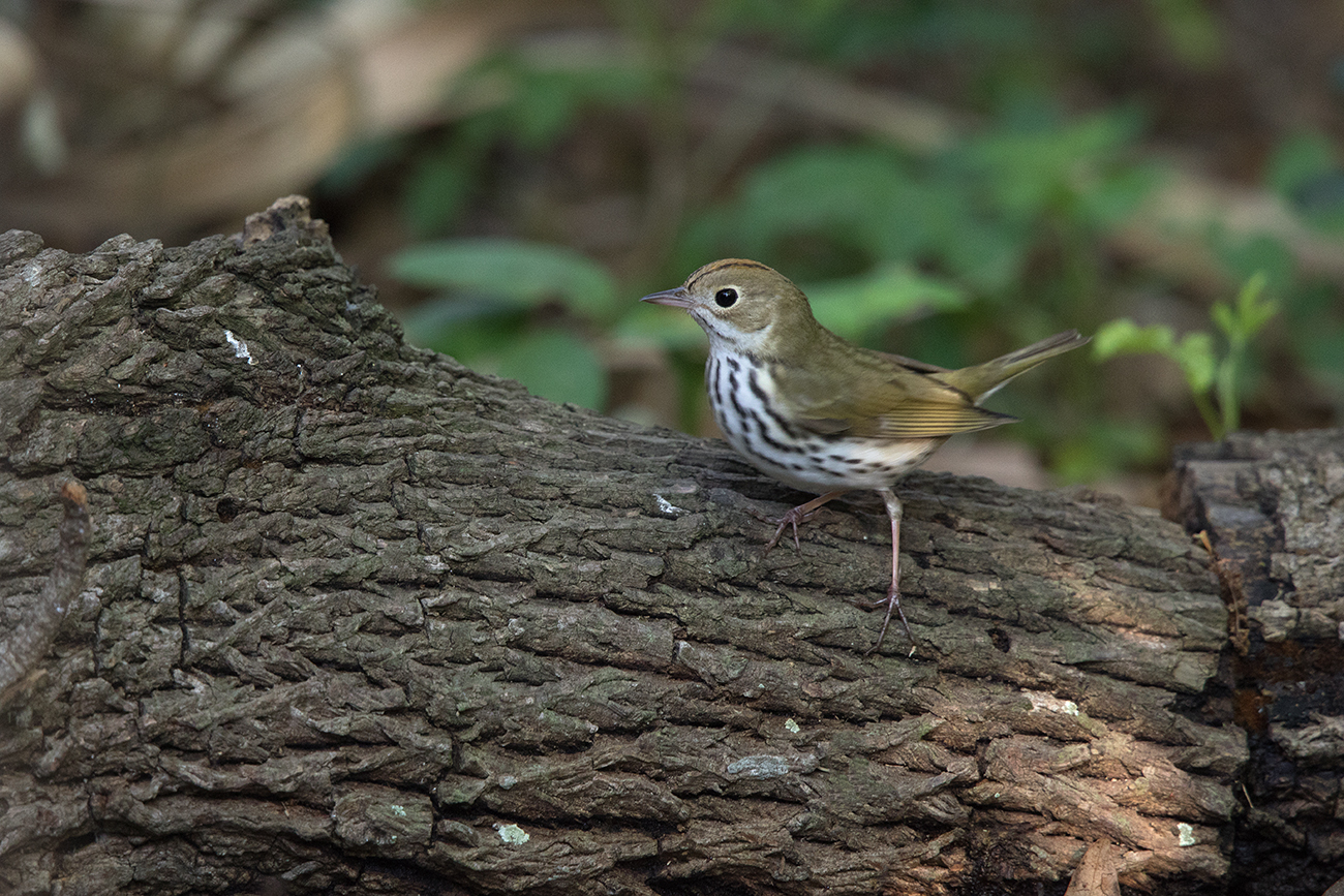OVENBIRD - GALVESTON COUNTY TX APRIL, 2016
