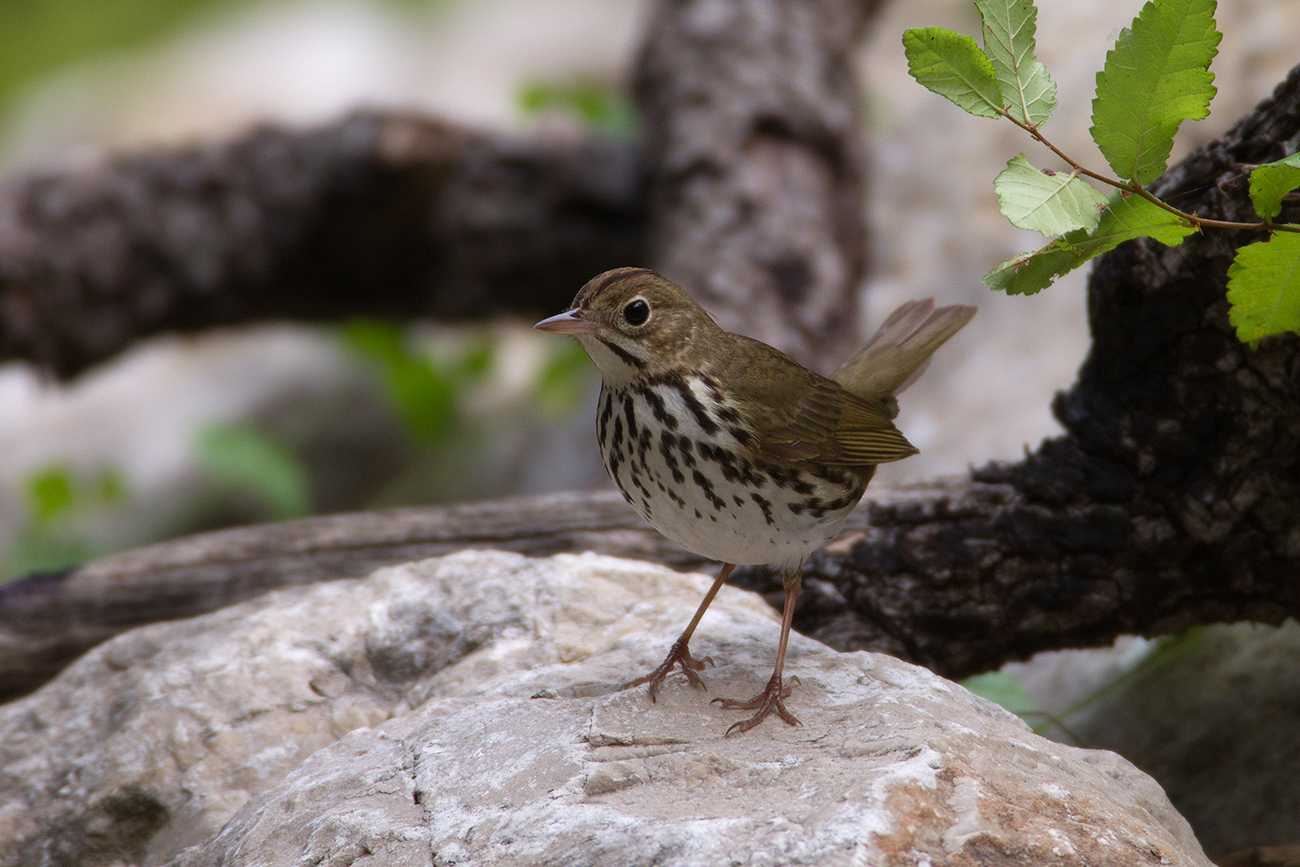OVENBIRD - GUADALUPE COUNTY TX