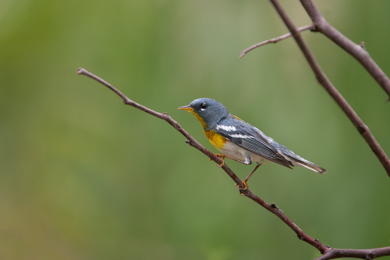 NORTHERN PARULA - GRAYSON COUNTY TX