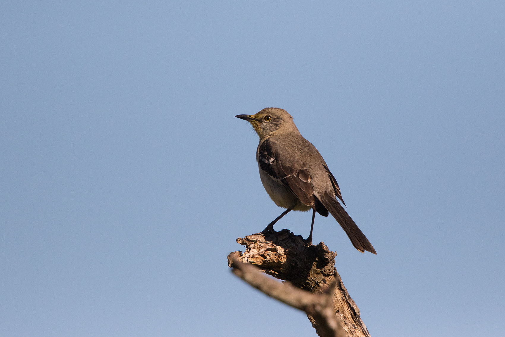 NORTHERN MOCKINGBIRD - GALVESTON COUNTY TX APRIL, 2016