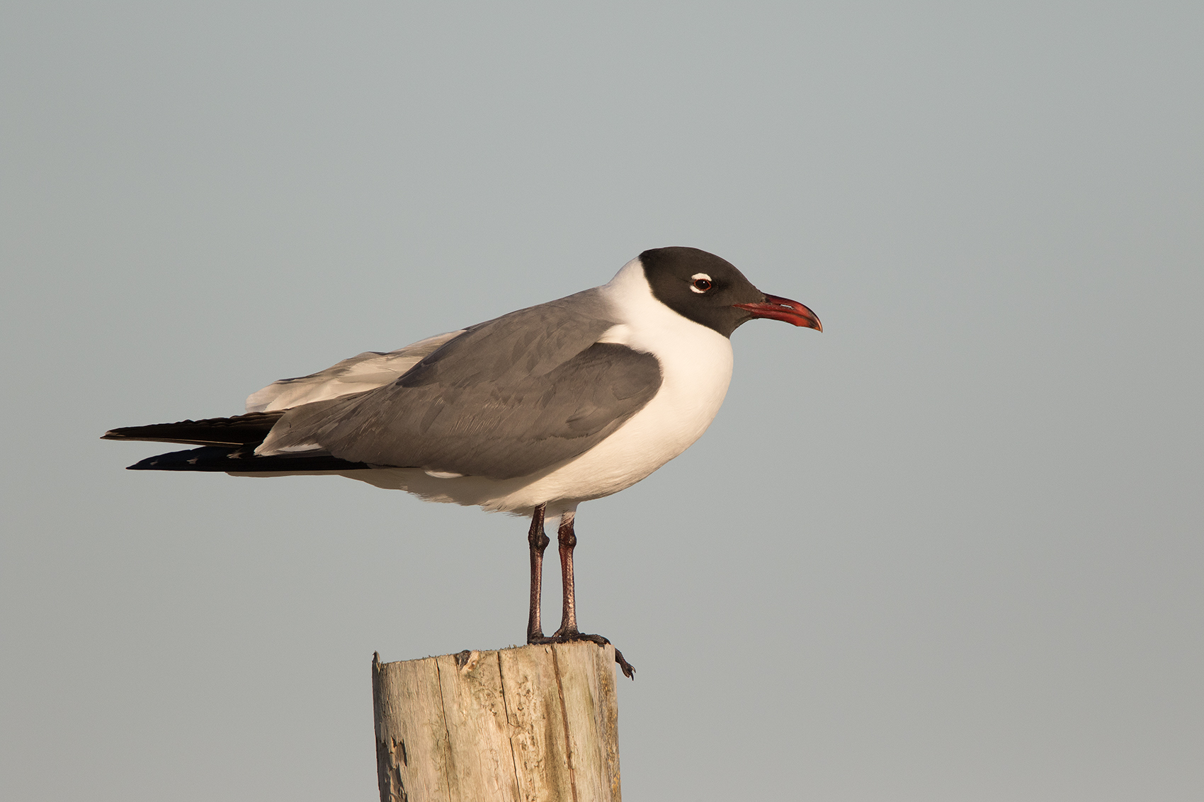 LAUGHING GULL - GALVESTON COUNTY TX APRIL, 2016
