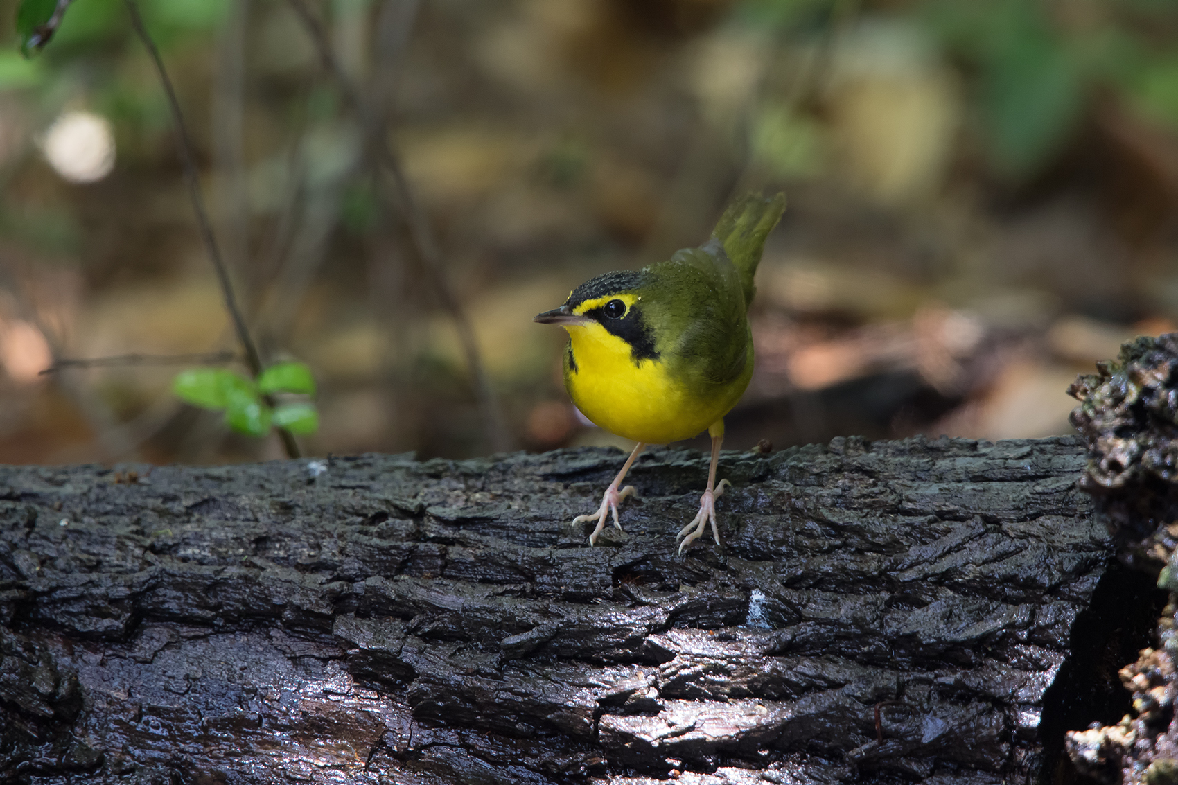 KENTUCKY WARBLER - GALVESTON COUNTY TX APRIL, 2016
