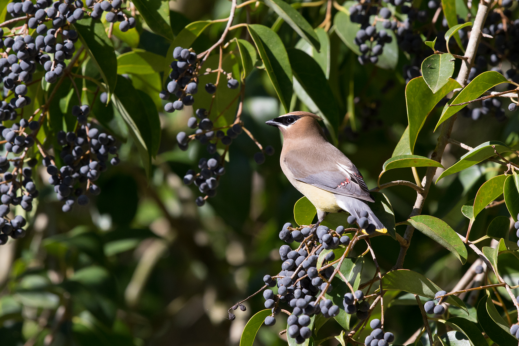 CEDAR WAXWING - WASHINGTON COUNTY TX APRIL, 2016