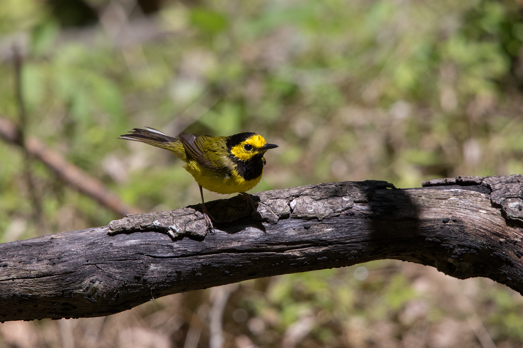 HOODED WARBLER - GALVESTON COUNTY TX APRIL, 2016