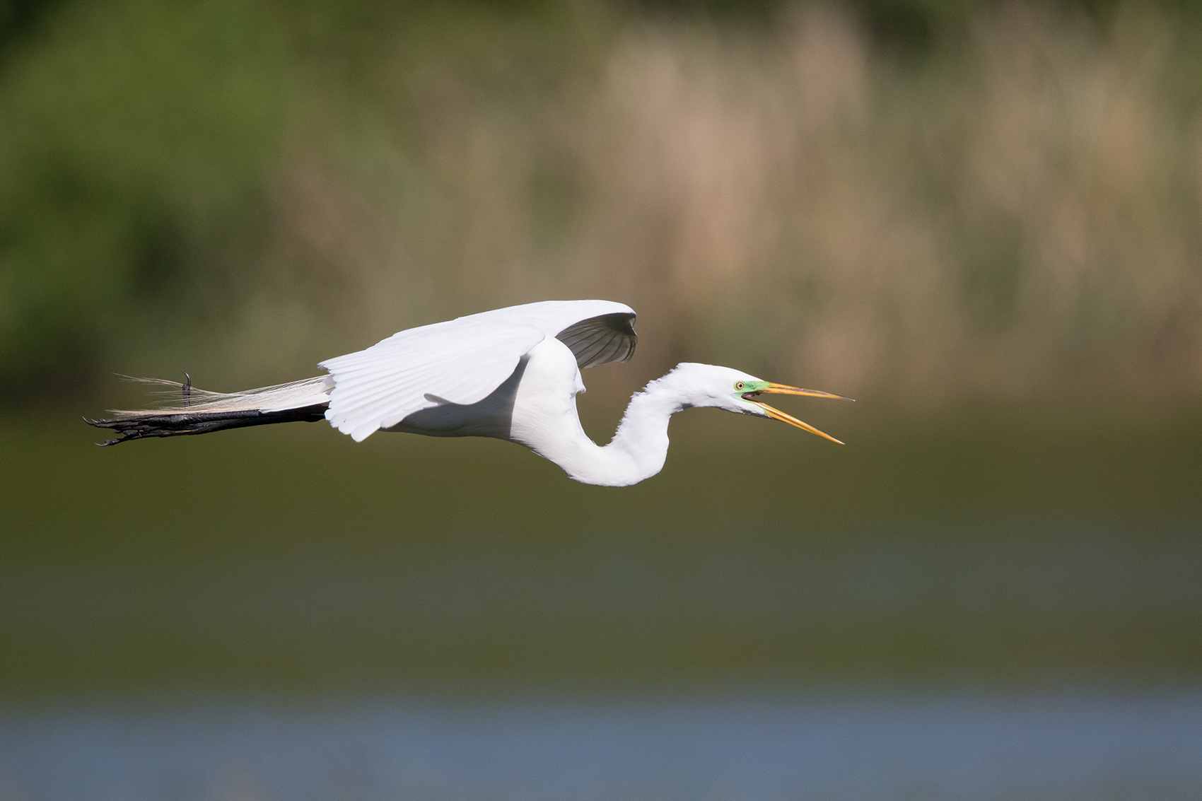 GREAT EGRET - GALVESTON COUNTY TX APRIL, 2016