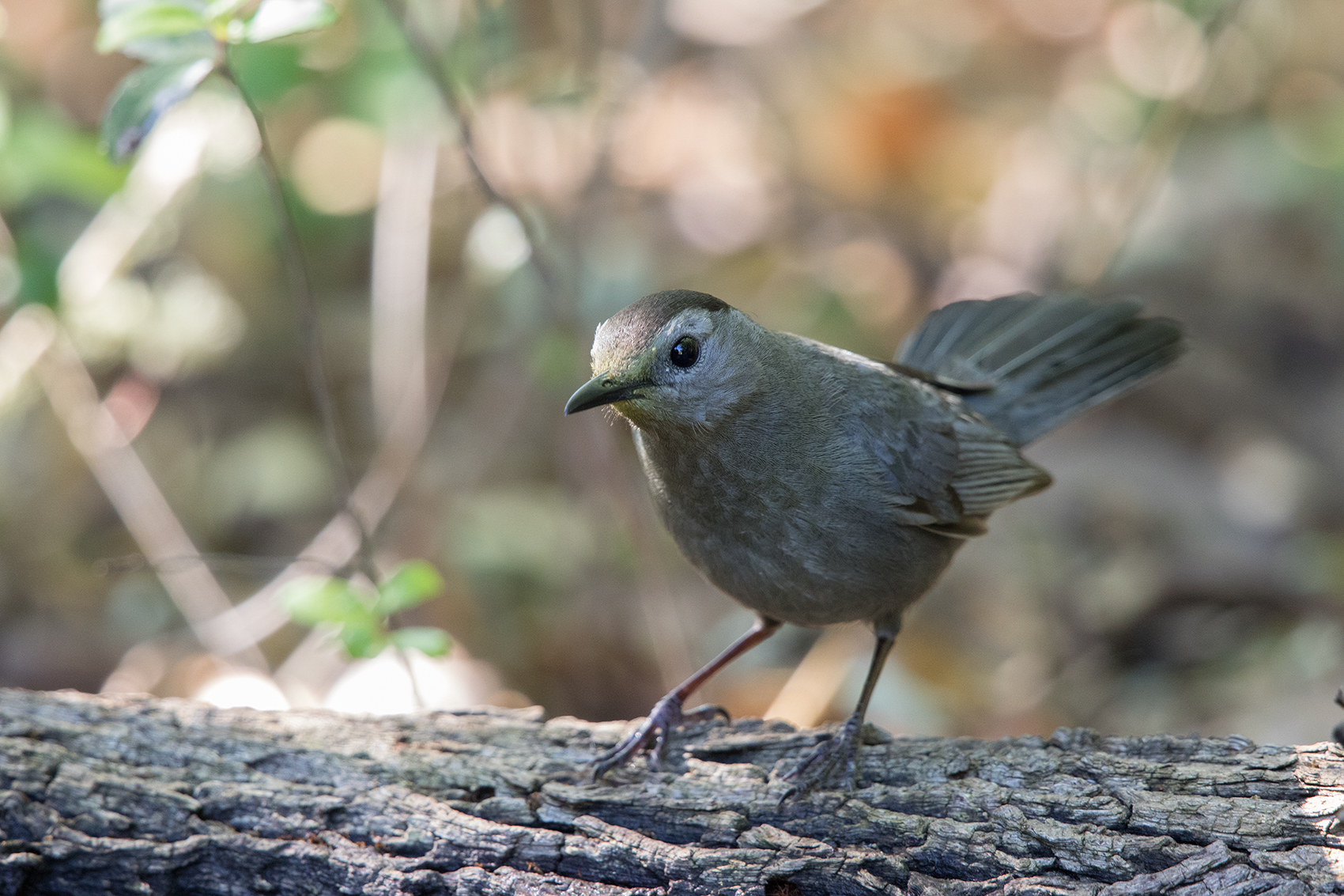 GRAY CATBIRD - GALVESTON COUNTY TX APRIL, 2016