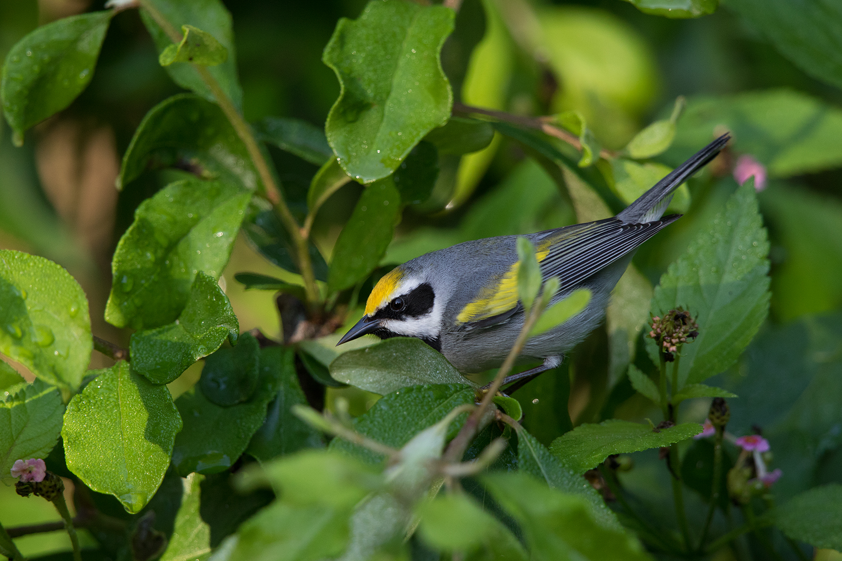 GOLDEN-WINGED WARBLER - GALVESTON COUNTY TX APRIL, 2016