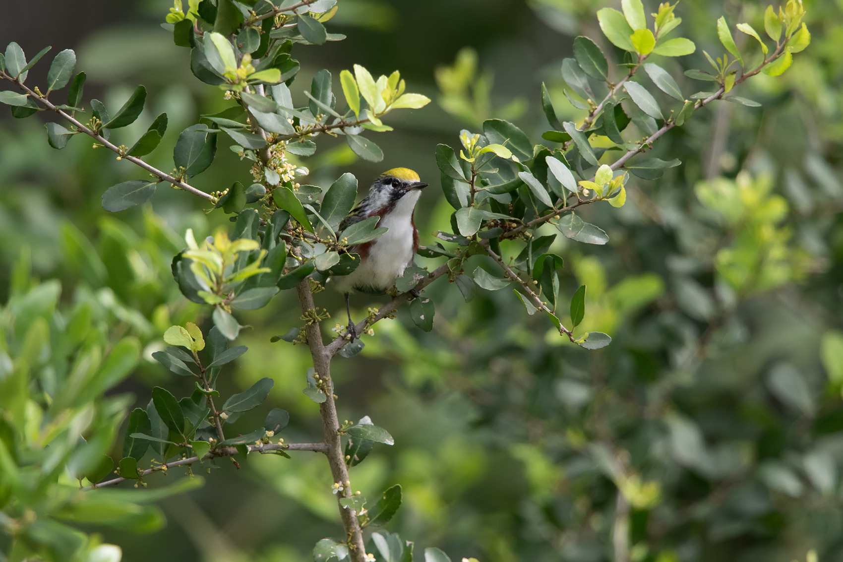 CHESTNUT-SIDED WARBLER - GALVESTON COUNTY TX APRIL, 2016
