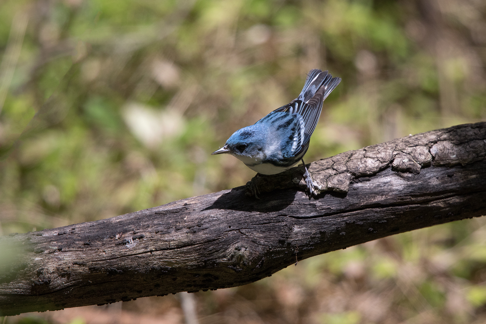 CERULEAN WARBLER - GALVESTON COUNTY TX APRIL, 2016
