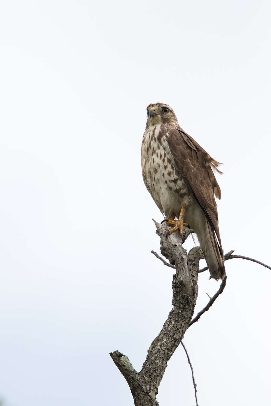 BROAD-WINGED HAWK - GALVESTON COUNTY TX APRIL, 2016