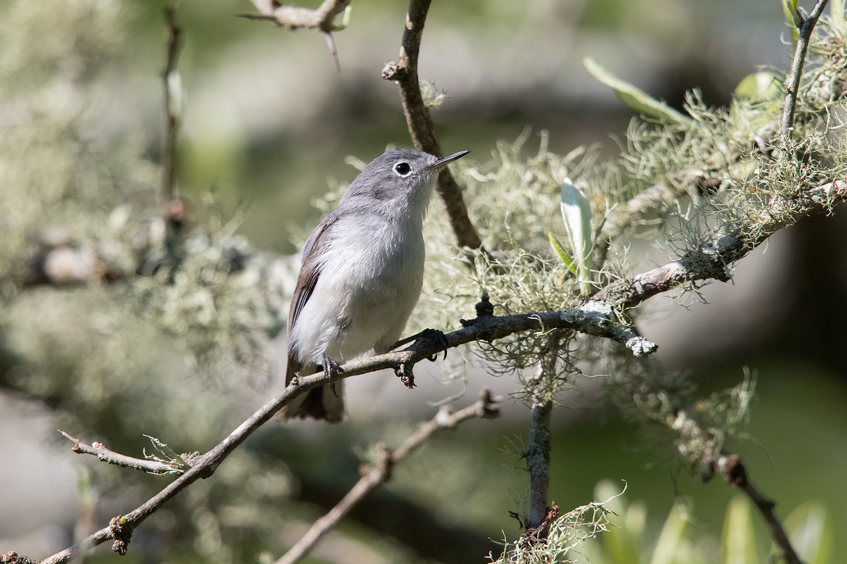 BLUE-GRAY GNATCATCHER - GALVESTON COUNTY TX APRIL, 2016