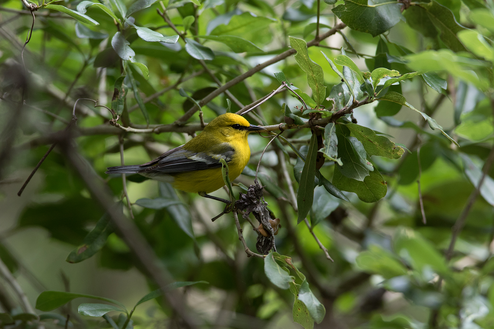 BLUE-WINGED WARBLER - GALVESTON COUNTY TX APRIL, 2016