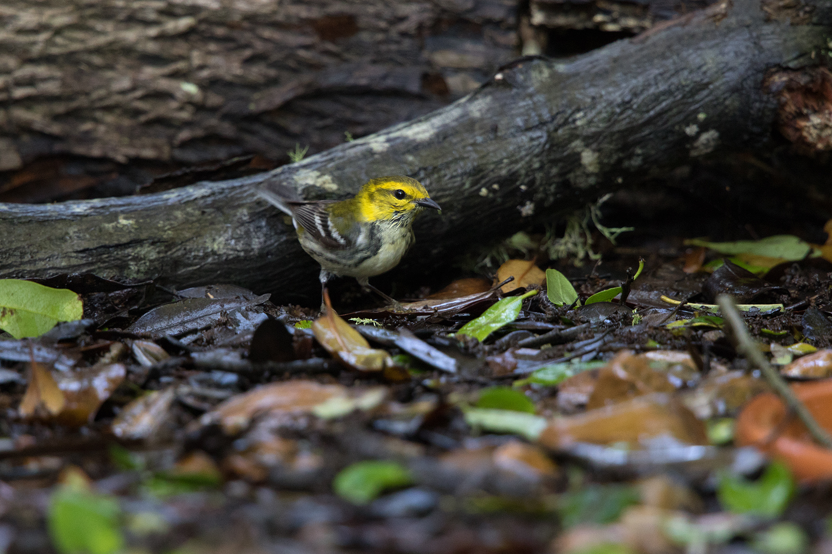 BLACK-THROATED GREEN WARBLER - GALVESTON COUNTY TX APRIL, 2016