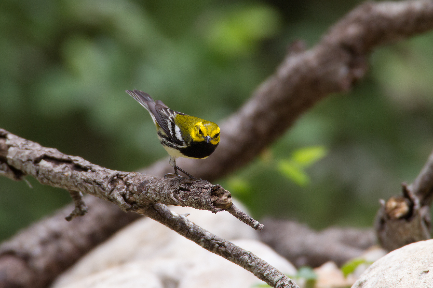 BLACK-THROATED GREEN WARBLER - GUADALUPE COUNTY TX