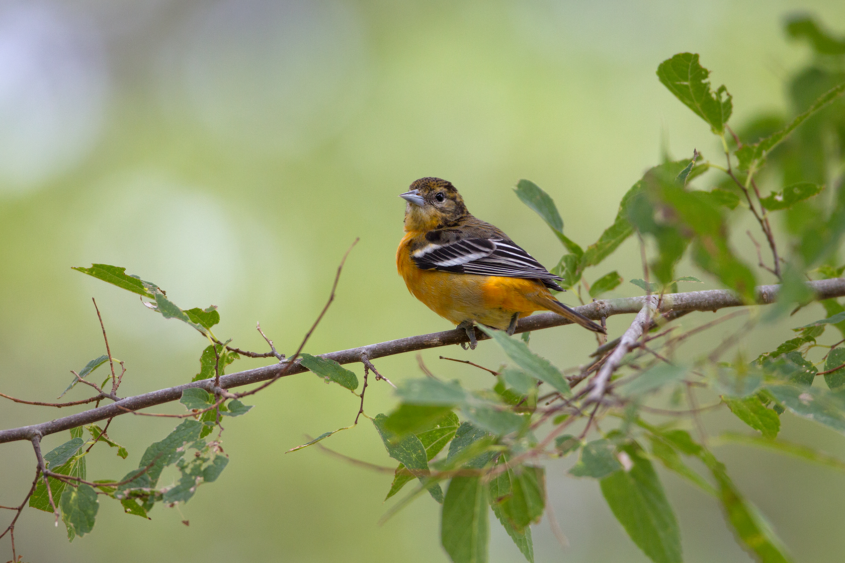 BALTIMORE ORIOLE - WASHINGTON COUNTY TX