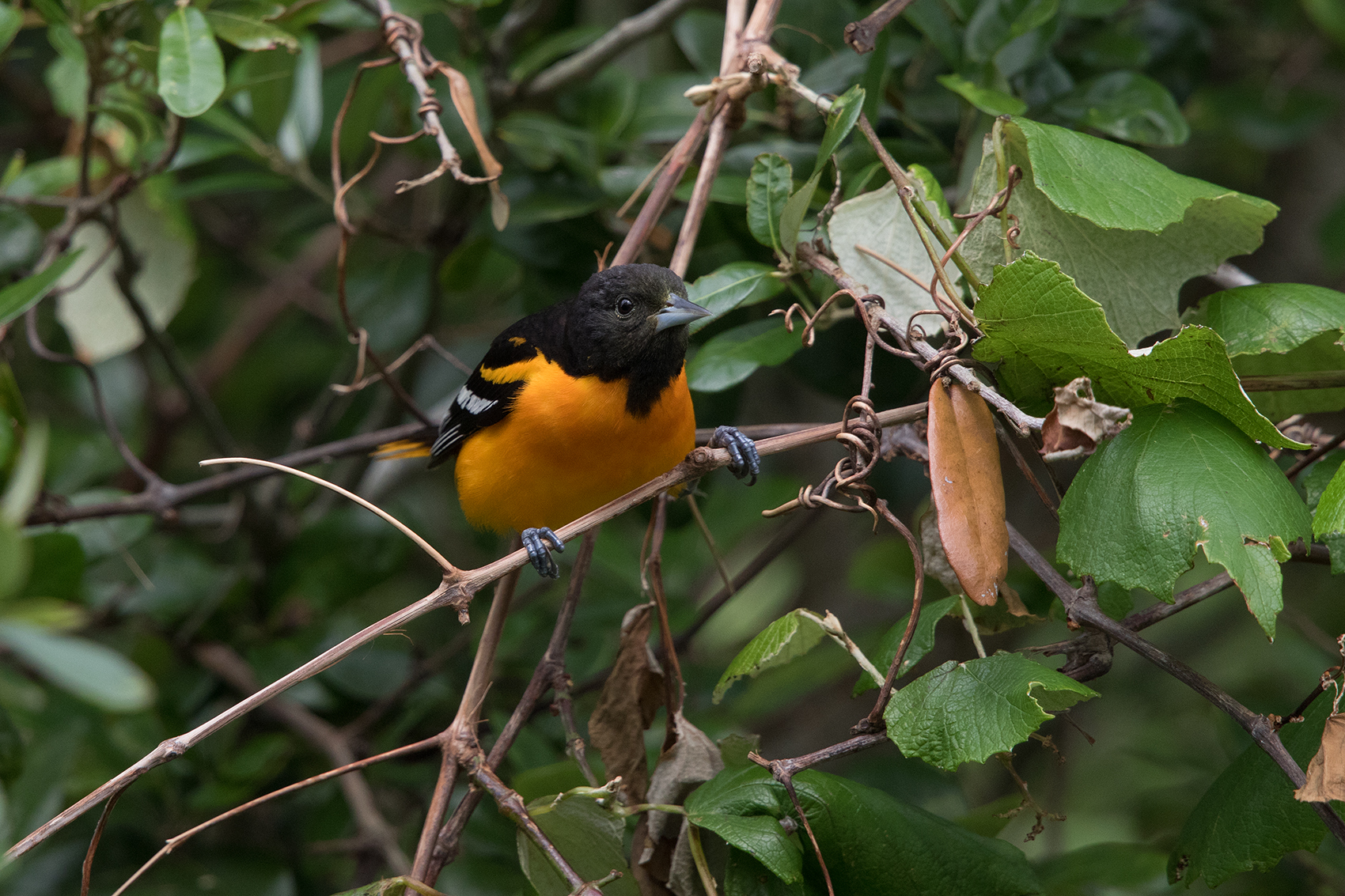 BALTIMORE ORIOLE - GALVESTON COUNTY TX APRIL, 2016