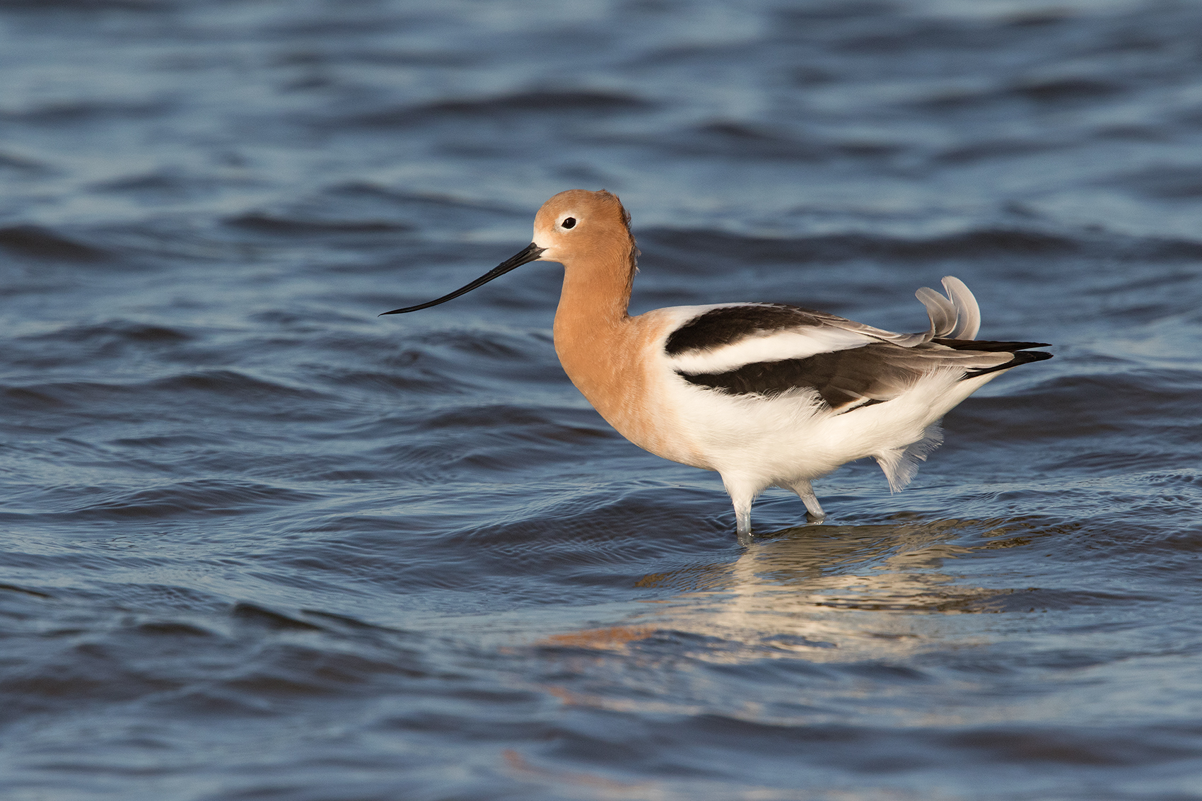 AMERICAN AVOCET - GALVESTON COUNTY TX APRIL, 2016