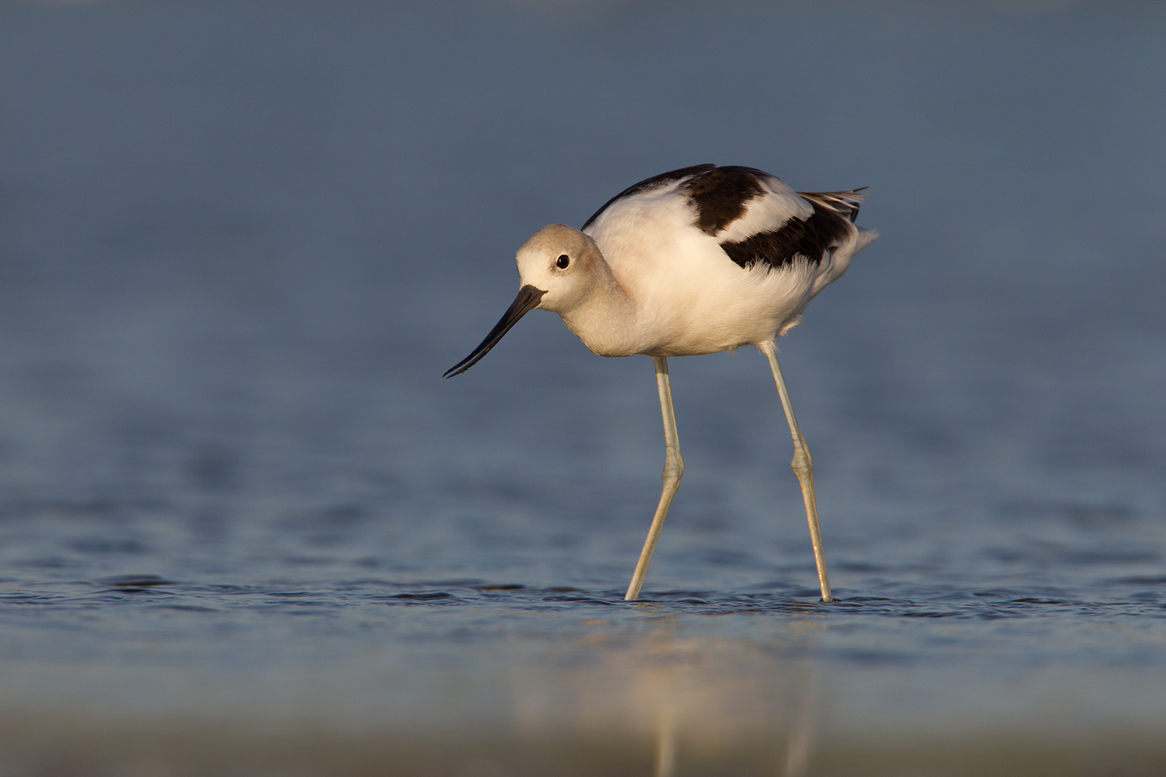 AMERICAN AVOCET - GRAYSON COUNTY TX