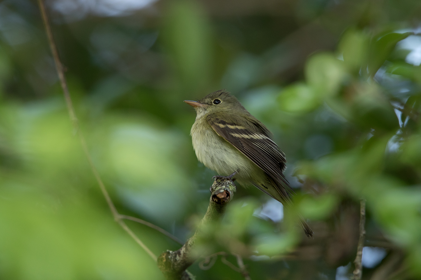 ACADIAN FLYCATCHER - GALVESTON COUNTY TX APRIL, 2016