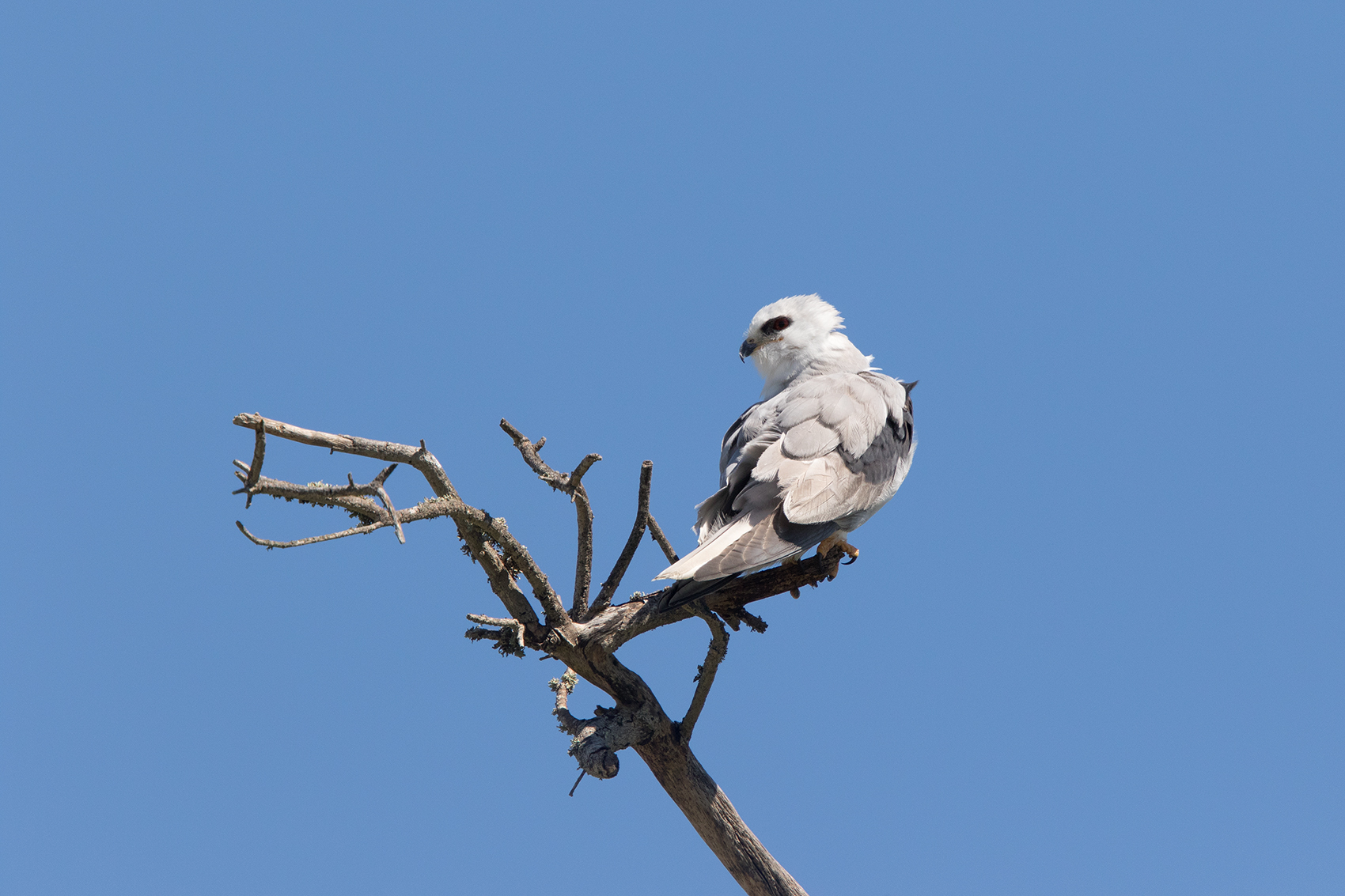 WHITE-TAILED KITE - GALVESTON COUNTY TX MARCH, 2016