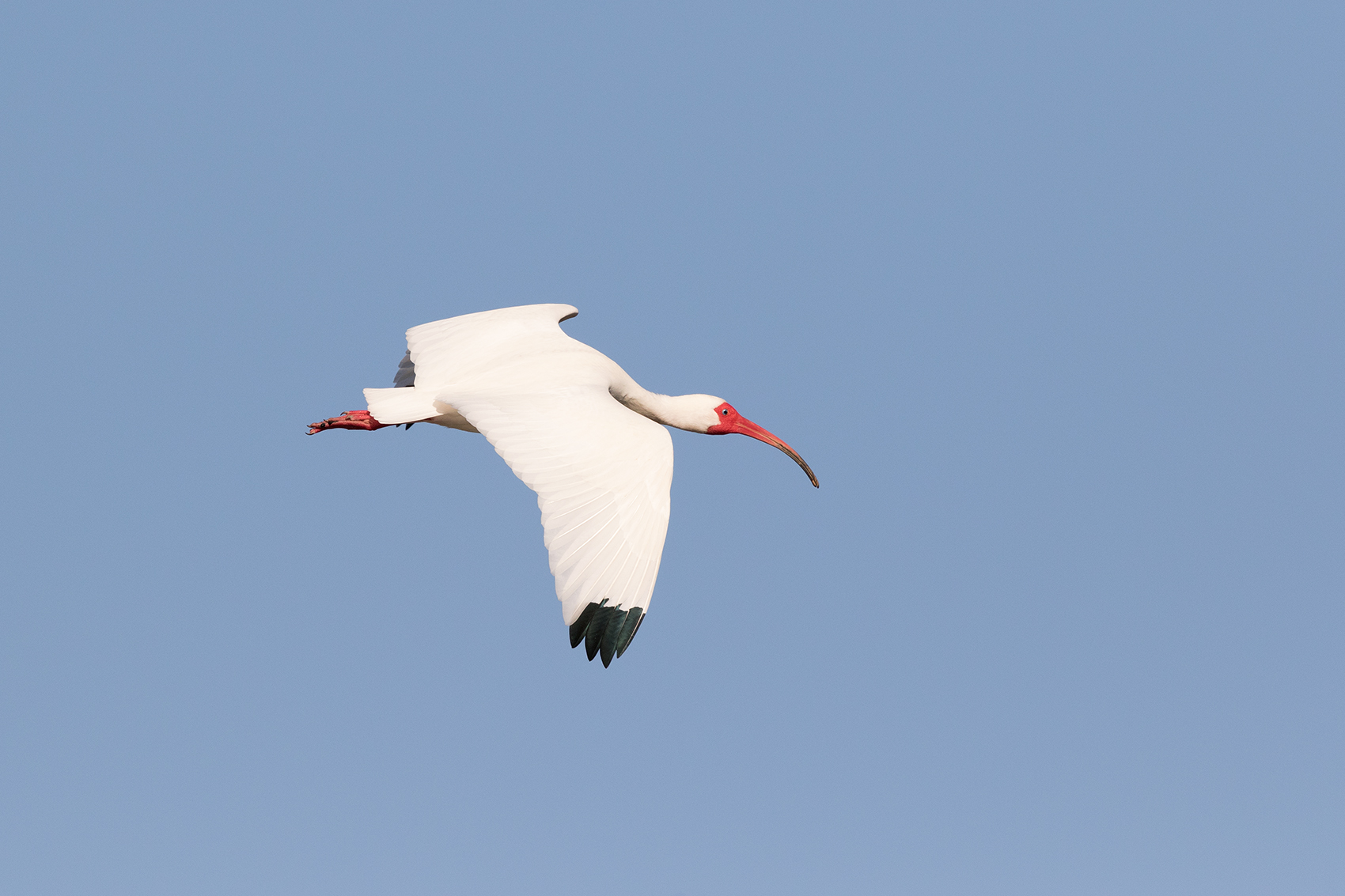 WHITE IBIS - GALVESTON COUNTY TX MARCH, 2016