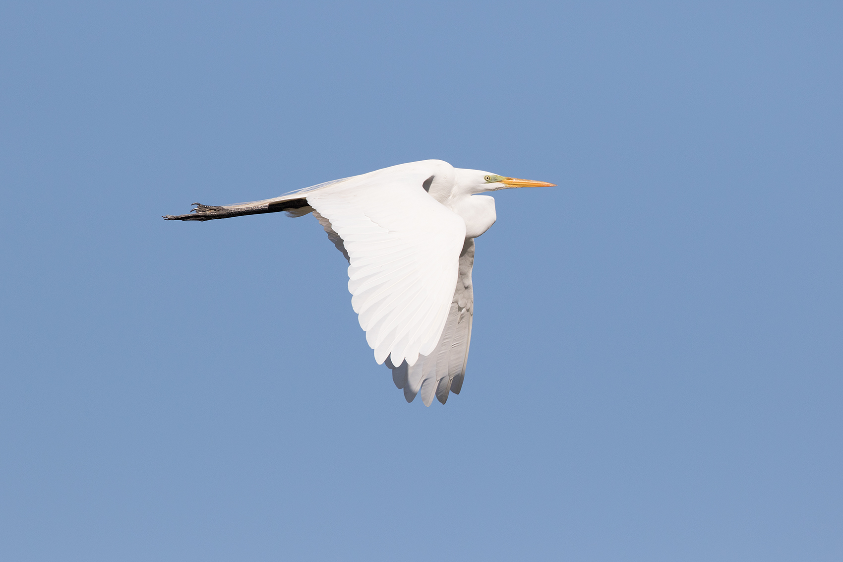 GREAT EGRET - GALVESTON COUNTY TX MARCH, 2016